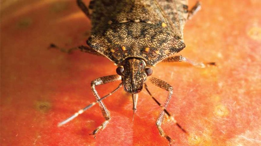 Climate Models Show Brown Marmorated Stink Bug's Growing Range of Destruction