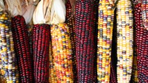 DNA Study Gives Insight in how Corn Adapts to New Climates