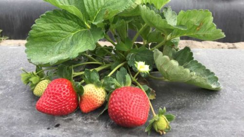 New Florida Strawberry Shaping up to Be a Thing of Beauty