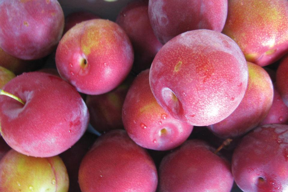 Varieties of plums