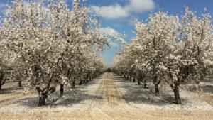 How to Determine Optimal Almond Tree Spacing