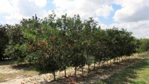 Fruitful Feedback From Florida Citrus Rootstock Survey
