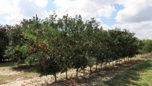 Fruitful Feedback From Florida Citrus Rootstock Survey