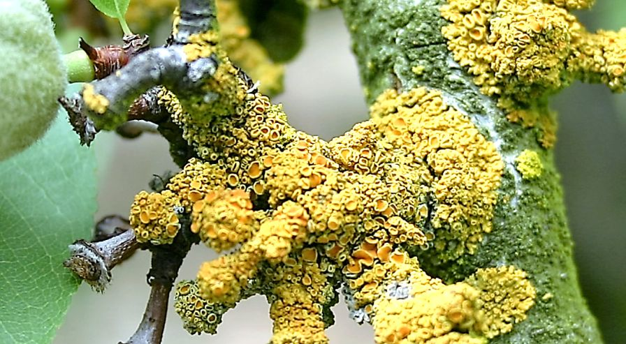 Lichens Thrive in Your Orchard During a Wet Year