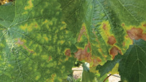 Understanding the Economics Of Red Blotch in Grapes
