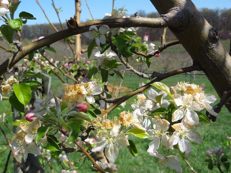 Apple Freeze Risk Tool Helps Growers Assess Troublesome Temperatures