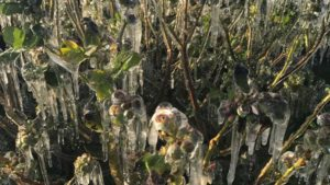 Florida Blueberry Crop Escapes Slap from Late-Season Cold Snap