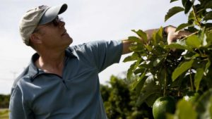 Beetle Battle Burgeoning for South Florida Avocado Growers