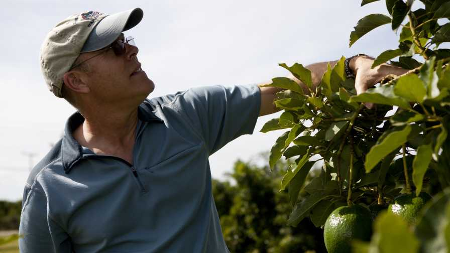 UF/IFAS scientist Jonathan Crane inspects avocado trees in South Florida
