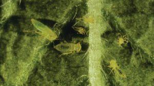 Potato-leafhopper