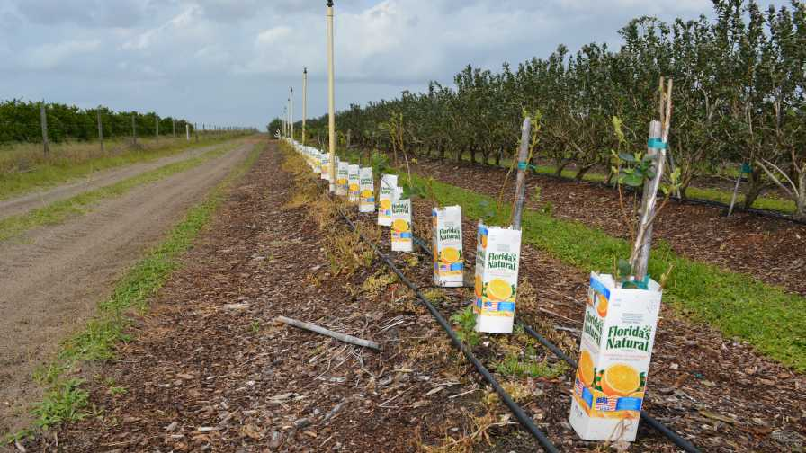 Blueberries trained to grow straight with help of OJ cartons