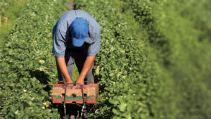 Farm Labor Contractor Accused of Wage Theft