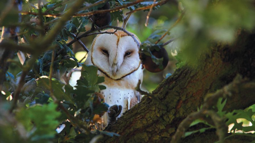 Barn Owls Can be an Effective Control for Rodents and Gophers