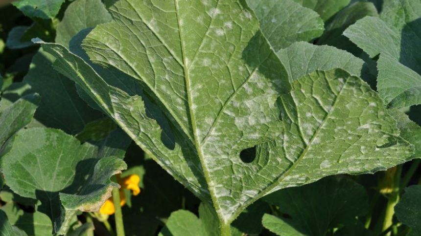 Field Scouting Guide for Squash Powdery Mildew