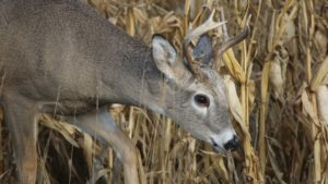 Whitetail Deer: The Top Wildlife Threat to Vegetable Crops