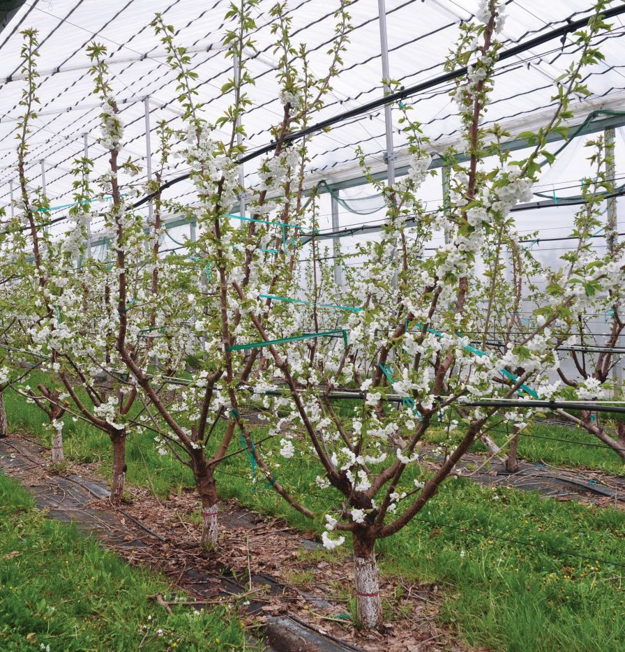Multiple Leader Training Optimizes Sweet Cherry Labor Efficiency