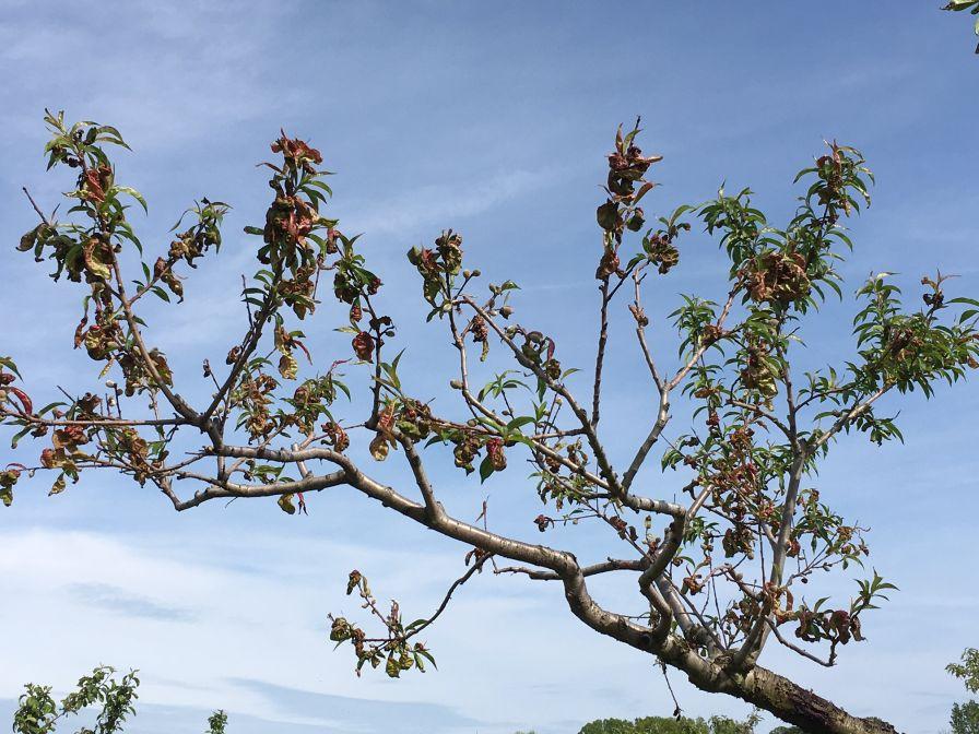 Keep an Eye out for Peach Leaf Curl