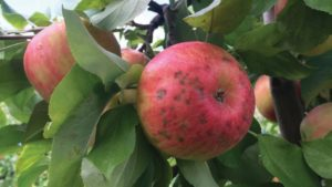 How to Predict Bitter Pit in Honeycrisp Apples