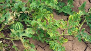 Take Caution to Curb Cucurbit Leaf Crumple Virus