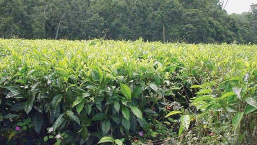 Reading the Tea Leaves of Alternative Crops