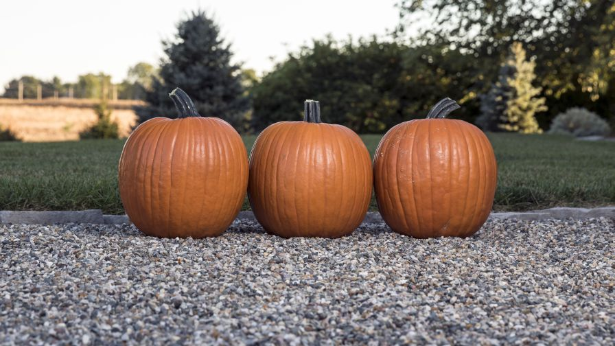 Variety Specs   Production Tips: Pumpkin 'Bayhorse Gold' from Rupp Seeds
