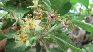 Integrating Control Methods to Tackle Fire Blight