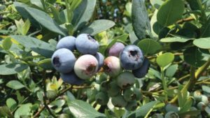 Southern Highbush Berries Have Turned the Blueberry World Upside-Down