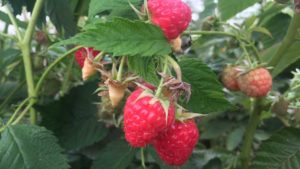 Caneberry Growers Asked to Complete Pricing Survey