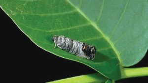 Codling Moth Monitoring Tips in Walnuts