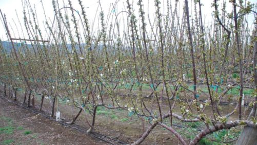 What Will Be the Next Generation of Cherry Canopies?