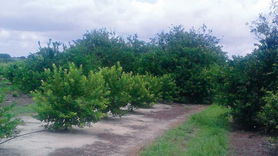 Florida lemon grove
