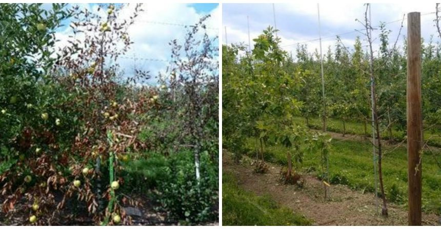 New York Growers' Input Needed on Apple Tree Decline