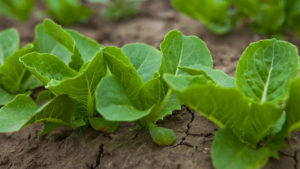 Time to Rethink Your Lettuce Drop Management Plan?