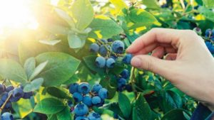 Ways Florida Blueberry Growers Can Elevate Their Message