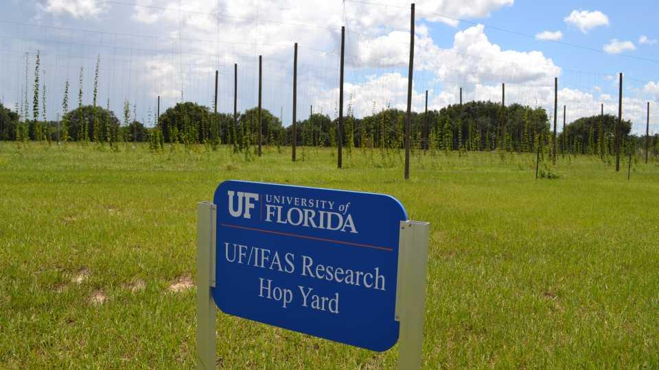 Hop yard at UF/IFAS MREC in Apopka