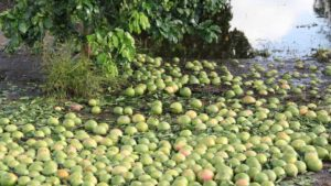 Tips to Help Hurricane-Stressed Citrus Trees