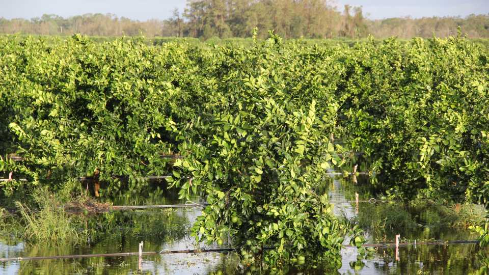 SW Florida citrus grove soaking in Irma's floodwaters