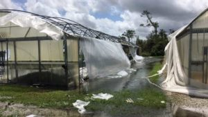 Complications Persist as Florida Growers Pick up After Irma