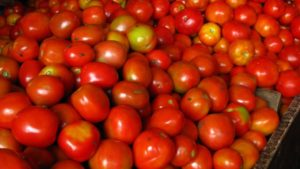 Heavy Spring Rain Causes Significant Drop in 2017 California Tomato Harvest