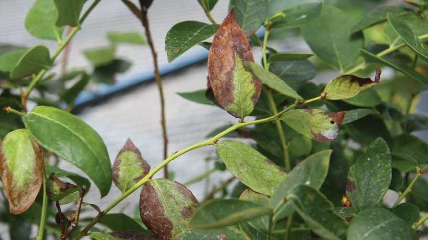 Getting to the Bottom of Bacterial Wilt in Blueberries