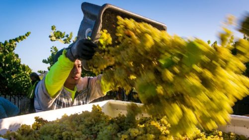 Heat Wave Leads to Early Winegrape Harvest in California's Sonoma County