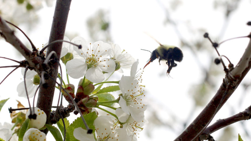 Fungicides During Bloom — the Pollination Paradox