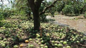 Irma Rains Down on Florida Citrus Crop Estimate