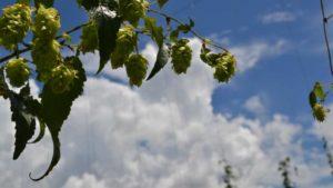 Hopes High for Hops Fresh From Florida