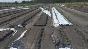 Lack of Crop Insurance a Risky Business for Vegetable Growers