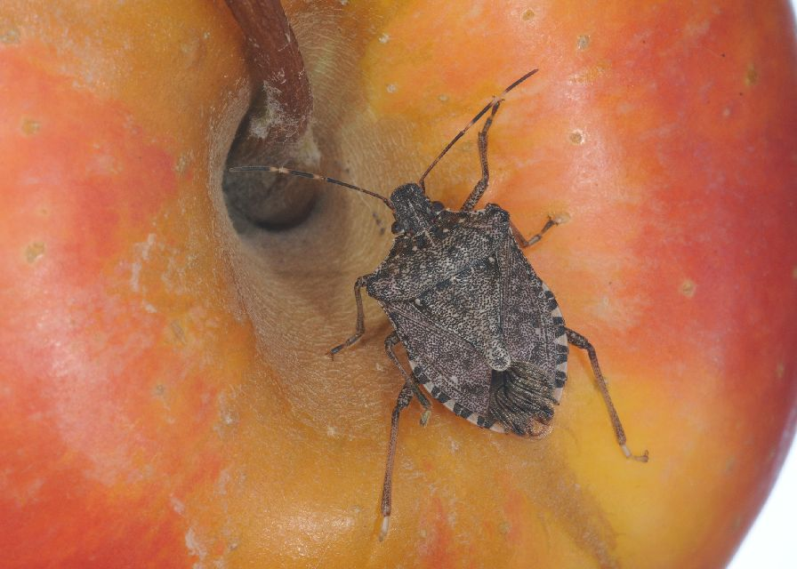 Brown marmorated stink bug on fruit
