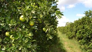 Florida Orange Crop Forecast Stuck in Holding Pattern