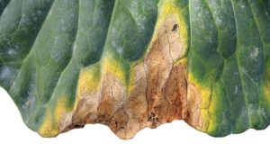 Field Scouting Guide: Black Rot of Brassicas