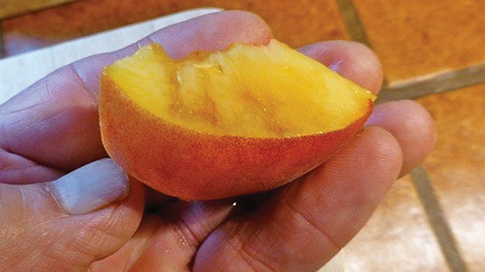 Spotted Wing Drosophila is an Old Pest, but New Threat to Peaches