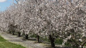 Can Virtual Sensors Save California's At-Risk Almond Yields?